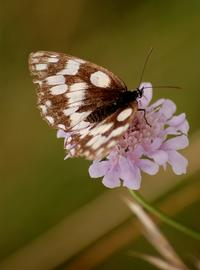 Miniature de Papillon