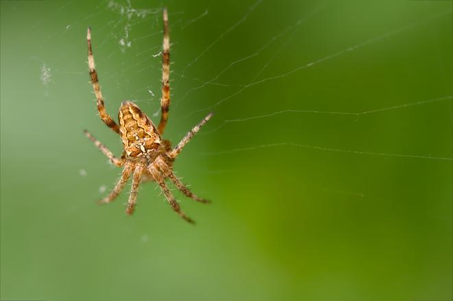 Araignée de la Dombes